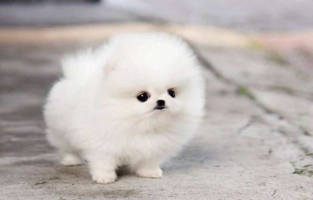 Kiat Merawat Anjing Dewasa Jenis Teacup Pomeranian Quanto Costa